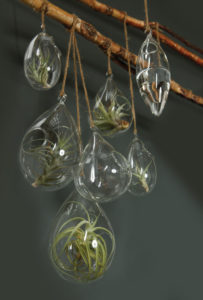 A grouping of hanging terrariums with air plants.