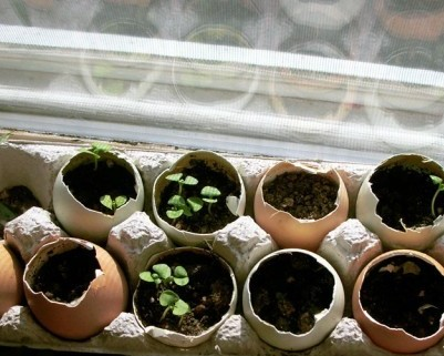 Egg carton and egg shells with young plants
