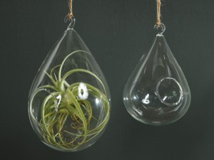 Air plants are popular choices for hanging terrariums.