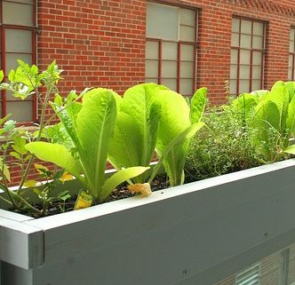 Lettuce plants in a window box