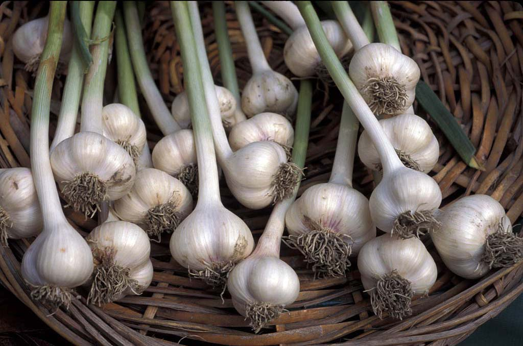 the feasibility of garlic allium sativum Garlic: an economic assessment of the feasibility of providing multiple-peril crop insurance introduction garlic, allium sativum, is a bulbous plant closely related to the onion.