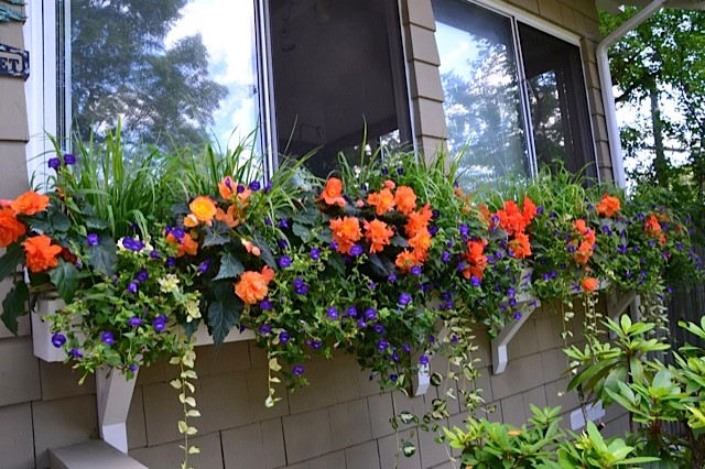White window boxes set the stage for begonias, violets and euphorbias.