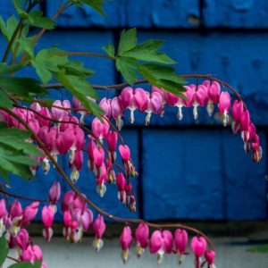 Bleeding Heart | Photo by James Mann