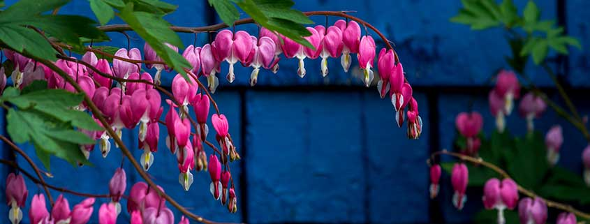 Bleeding Heart Plants for Shade Window Boxes