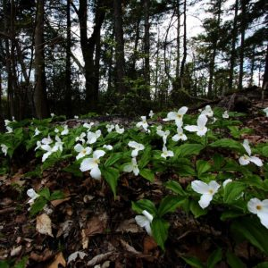 Forest Trilliums | Photo by Vlad Podvorny