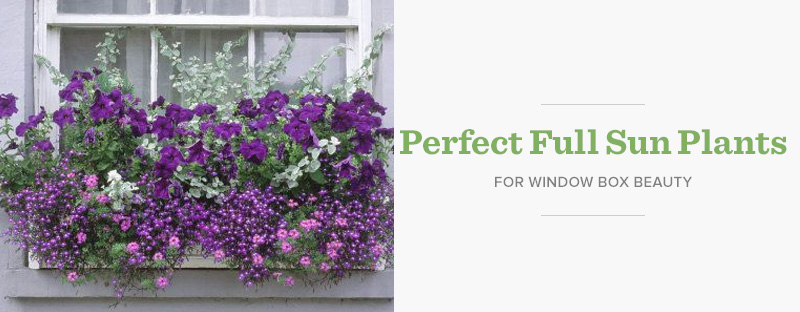 What to Plant in Window Boxes in Full Sun - Hooks & Lattice Blog