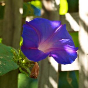 Purple Morning Glory Flower | Picture by Jon Callas