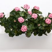 "Artificial Window Box Flowers - 2 Geranium Bushes to fill a 24"" Window Box"