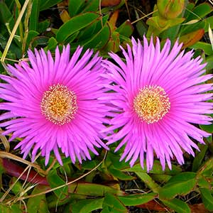 Ice Plant Flowers | Picture by Art Poskanzer