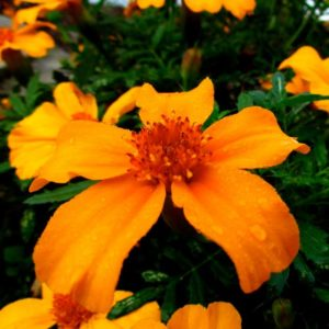 Signet Marigold Flower   Picture by Audrey